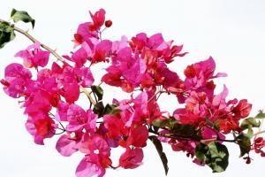 fiori Coniglione